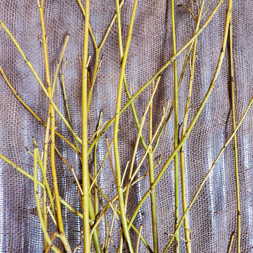 4' Yellow Dogwood Bundle