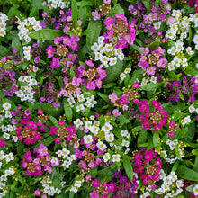 Load image into Gallery viewer, Lobularia Jumbo 6-Pack