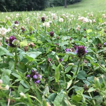 Bee Lawn Seed Mix