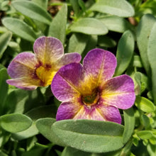 Load image into Gallery viewer, Calibrachoa 'Superbells'