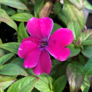 "Impatiens interspecific ""Bounce"""