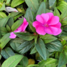 "Load image into Gallery viewer, Impatiens interspecific ""Bounce"""