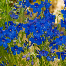 Load image into Gallery viewer, Delphinium Grandiflorum 'Summer Nights'
