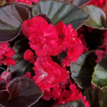 "Load image into Gallery viewer, Begonia semperflorens ""Doublet"""