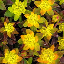 Load image into Gallery viewer, Euphorbia Polychroma 'Bonfire'