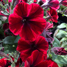 Load image into Gallery viewer, Petunia Hybrid 'Sweetunia'