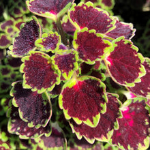 Load image into Gallery viewer, Coleus Solenostemon scutellarioides 'Great Falls'