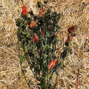 Indian Paint Brush Orange
