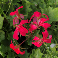 Load image into Gallery viewer, Ivy Geranium 'Mini Cascade'