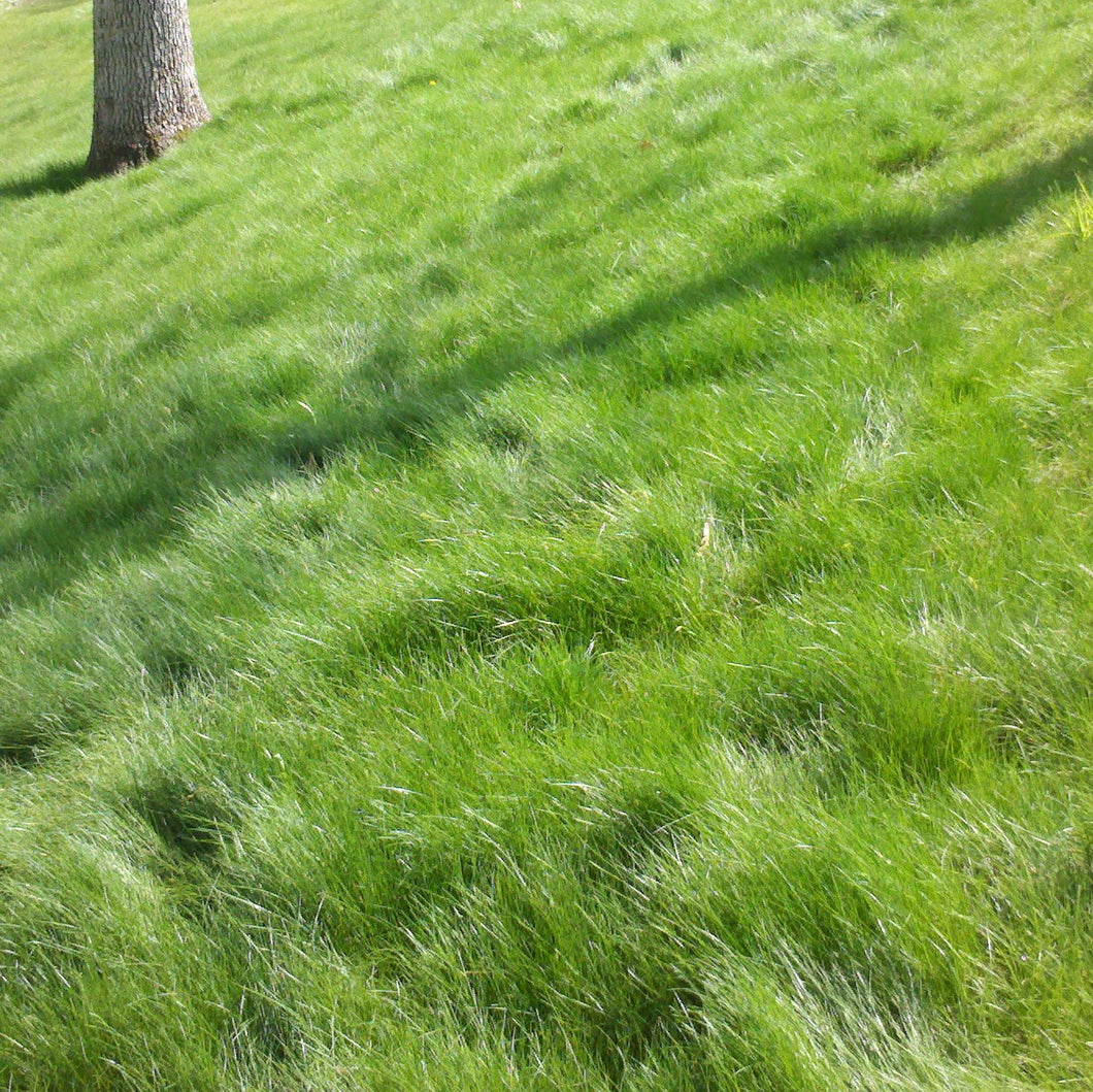 Slow Grow/No Mow Grass Seed