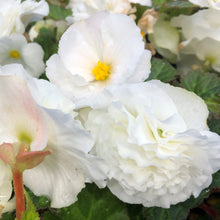 "Load image into Gallery viewer, Begonia Tuberous ""Nonstop"""