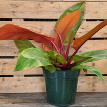 Load image into Gallery viewer, Philodendron 'Prince of Orange'