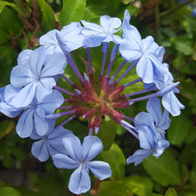 Load image into Gallery viewer, Plumbago