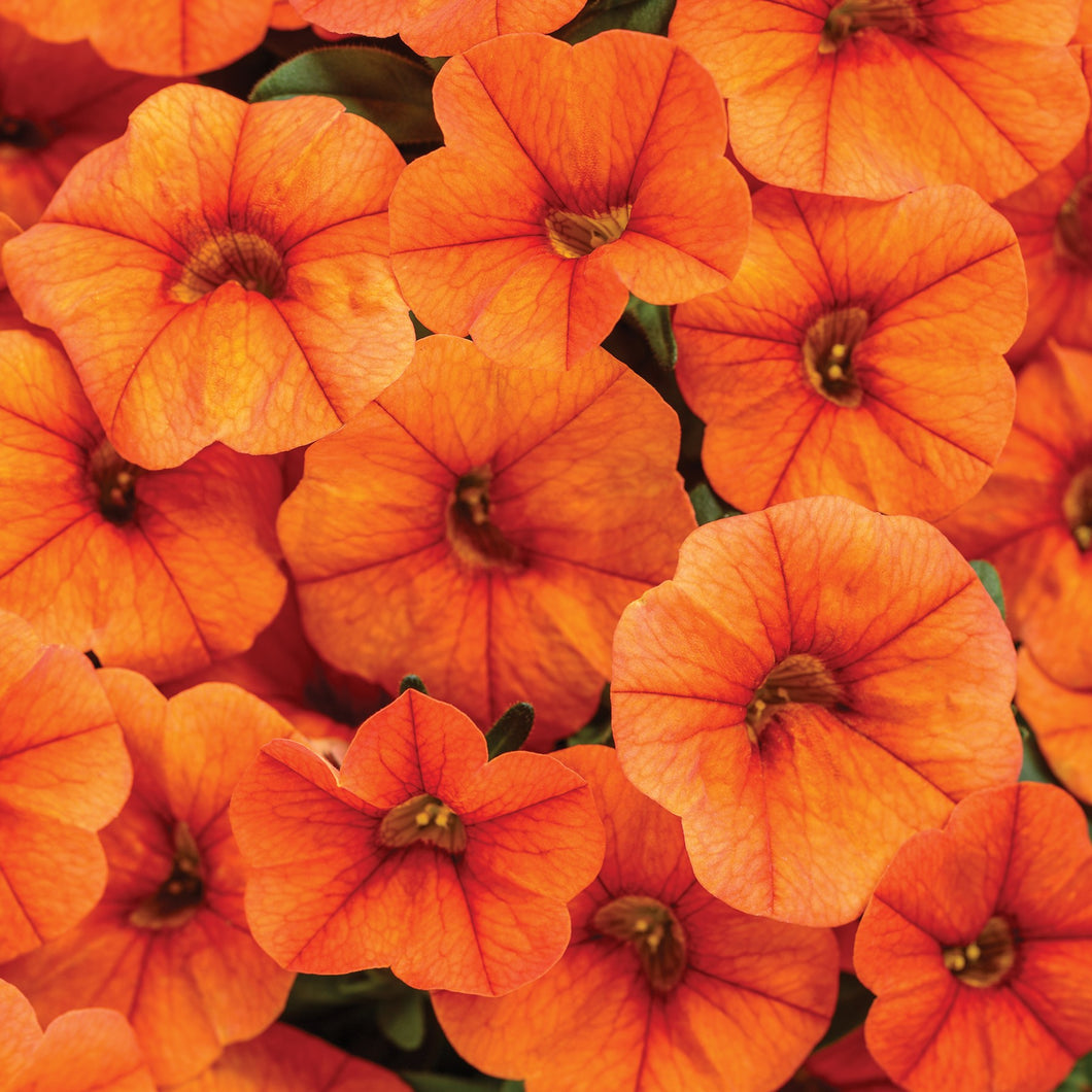 Calibrachoa 'Superbells'