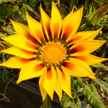 Load image into Gallery viewer, Gazania rigens