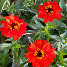 "Load image into Gallery viewer, Zinnia ""Profusion Series"""