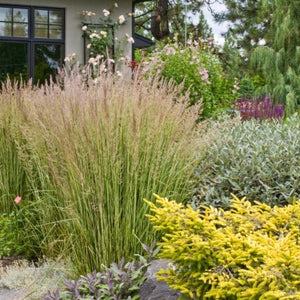 Calamagrostis x 'Avalanche'