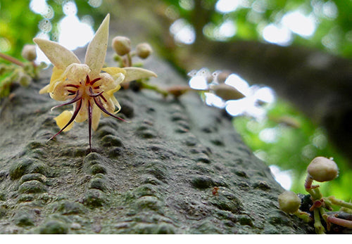 Photo of cocoa tree in flower