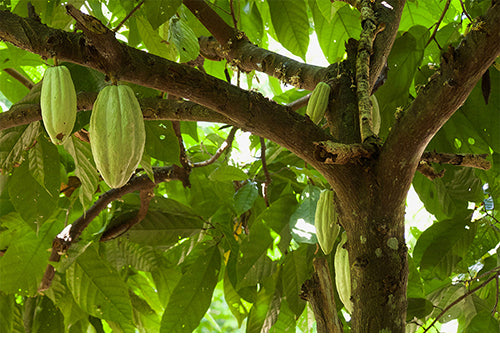 photo of cocoa tree with green cocoa pods