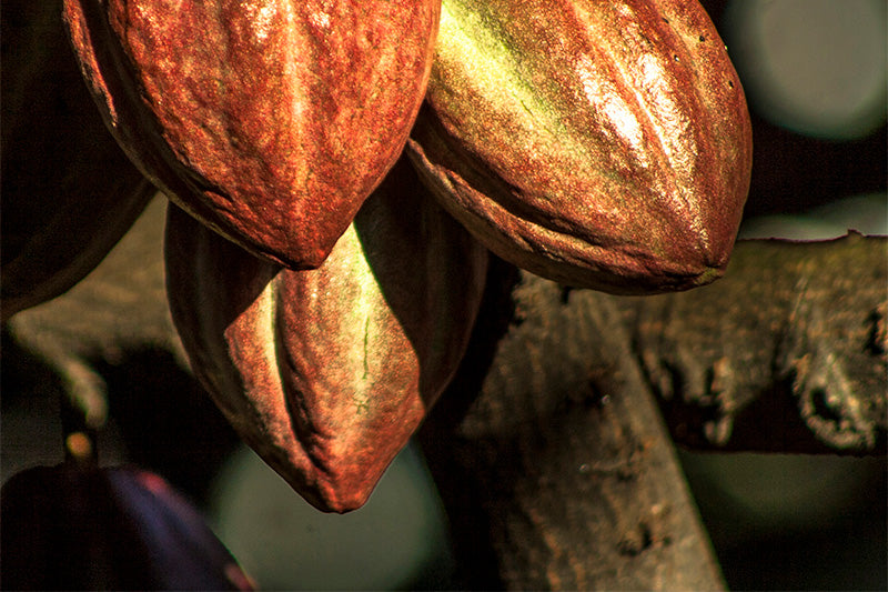photo of 3 cocoa pods