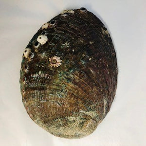 Abalone shell exterior natural