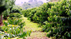 Philippines Coffee Plantation | Discount Coffee