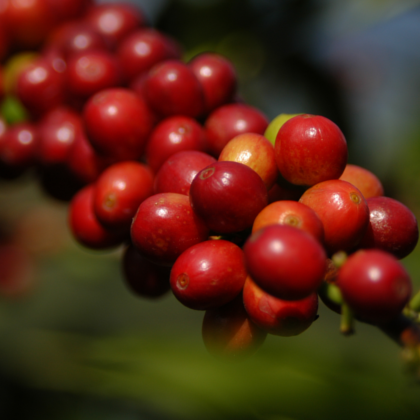 Arabica Berries
