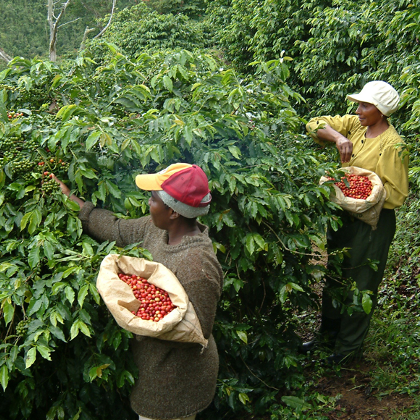 Picking Blue Mountain AA Coffee