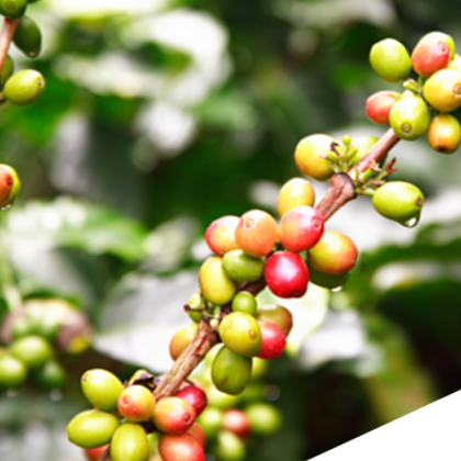 Rio Decaffeinated Coffee Beans (4x1kg) - DiscountCoffee