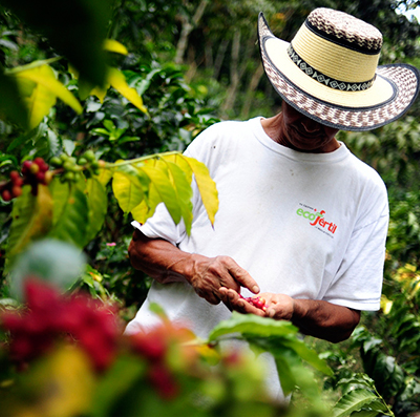 picking rio coffee beans
