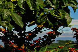 Fair Trade Organic El Salvador