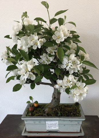 Bonsai Malus sp. (Appelboom)