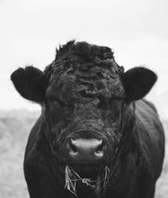Load image into Gallery viewer, Hungry Cow