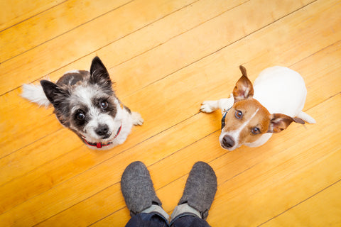2 dogs sitting on floor getting obedience training