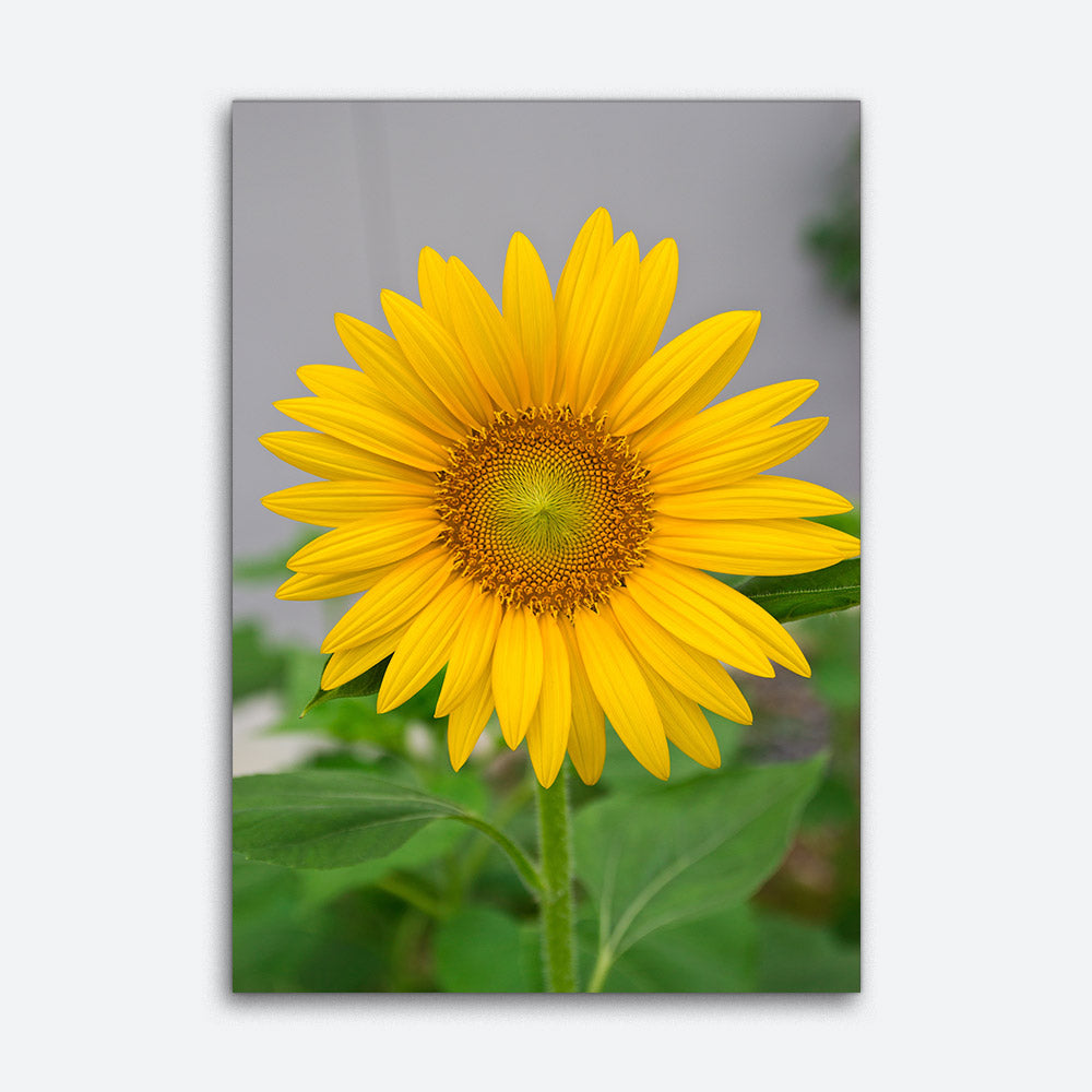 Sunflower Flower Canvas Wall Art v2