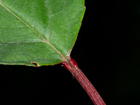 Extra-floral nectaries attract many hungry insects