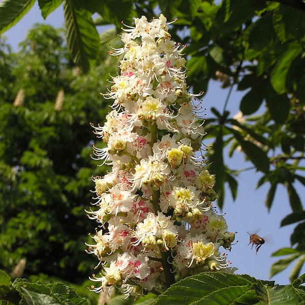 Horse Chestnut flowers attracting a foraging Honey bee