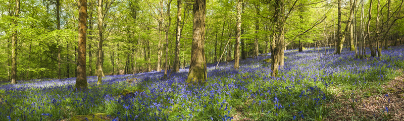 An English wood in spring - full of Bluebells