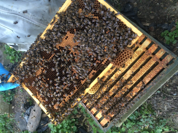 Full beehive bursting with bees