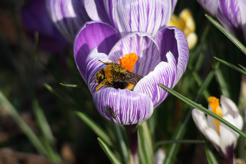 Bumblebee in a Crocus flower