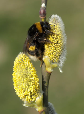 Bumblebee on Hazel