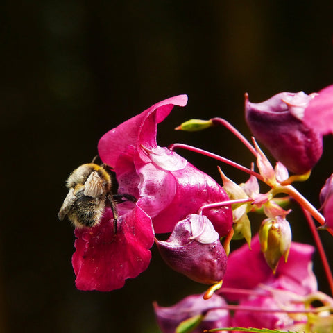 Himalayan Balsam with a bumblebee