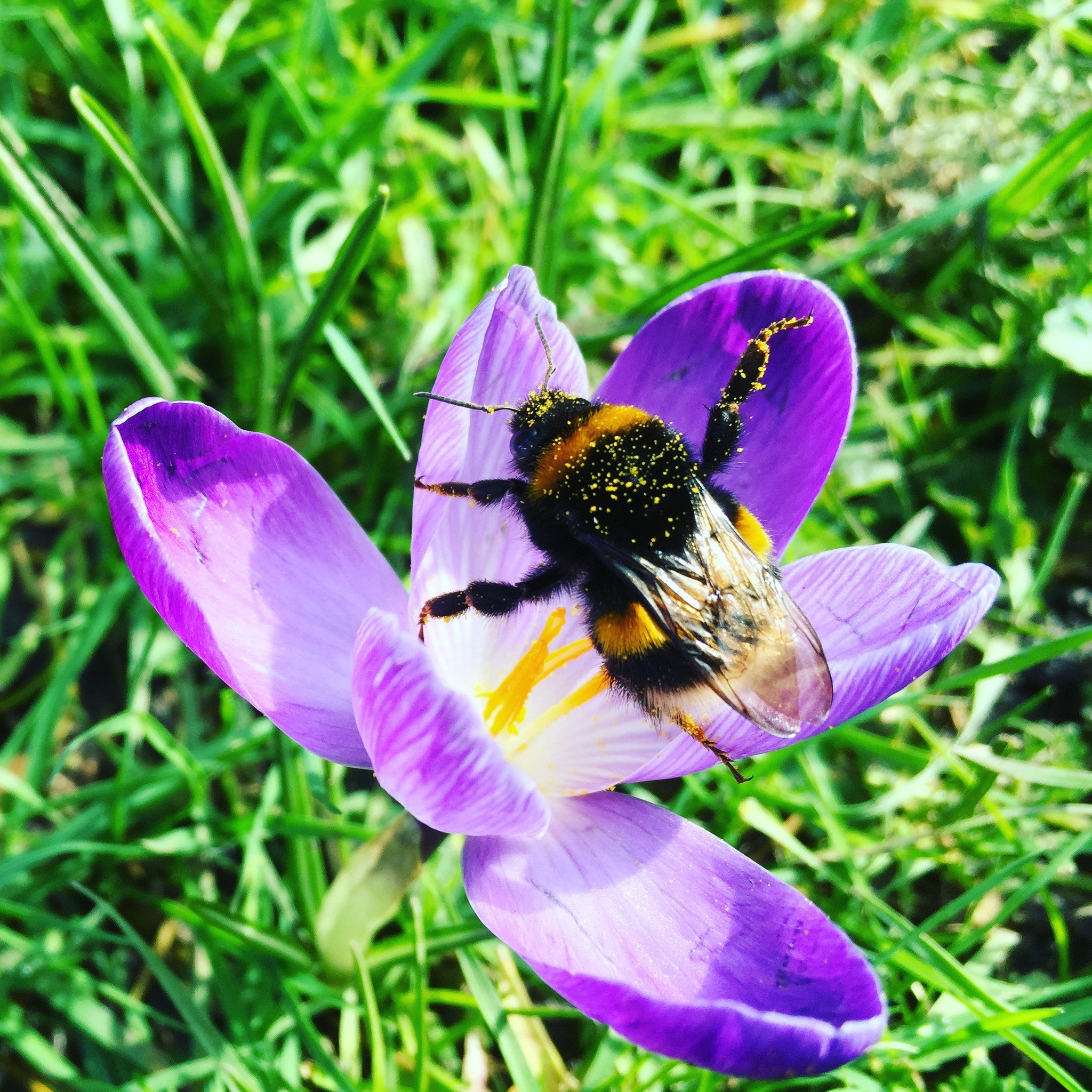 Bumblebee foraging pollen from an open Crocus flower