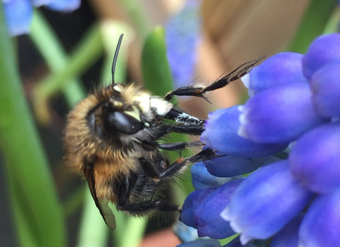 Male Hairy Footed Bee