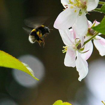 White-Tailed Bumblebee worker feeding on blossom