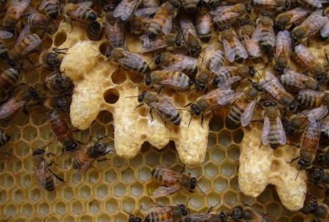 Honey bee Queen cells in a Bee Good hive