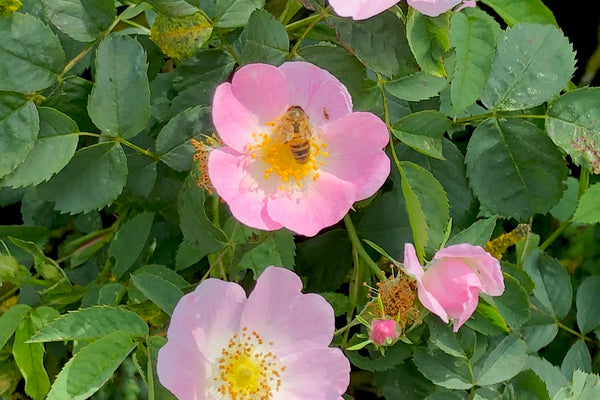 Wild Rose from by Ashridge Nursery's, Somerset