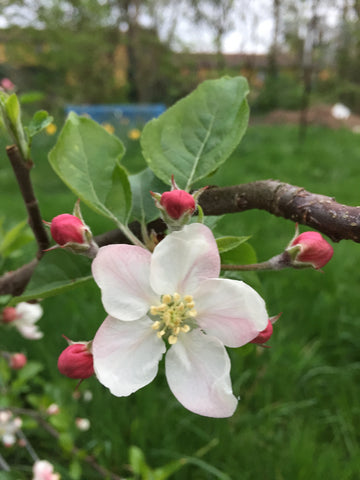 National Apple Day, Apple Blossom