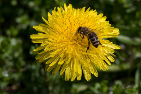 A Bee Good bee on a Dandelion flower