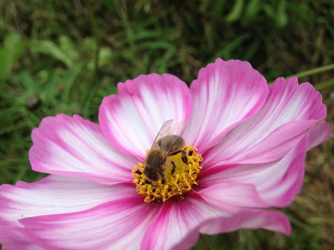 Cosmos flower with honey bee